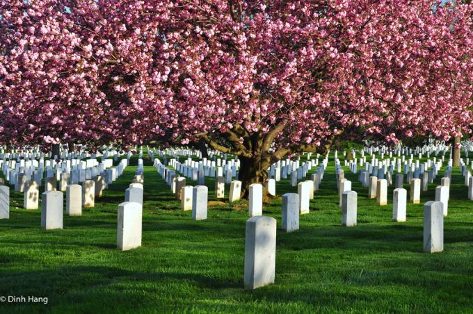 <p> Những ngôi mộ trong nghĩa trang quốc gia Arlington, Virginia, mang dáng vẻ bình yên dưới những tán anh đào.</p>