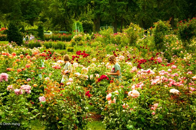 <p> Các du khách đi giữa vườn hồng ở Portland, Oregon.</p>