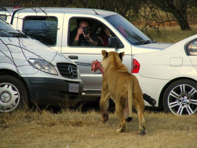 <p> Nhiều người đã thót tim thay cho du khách trong bức ảnh, khi người này dám mở kính ô tô xuống để chụp ảnh động vật hoang dã - một hành động rất nguy hiểm khi đứng gần các loài hổ, báo, sư tử...</p>
