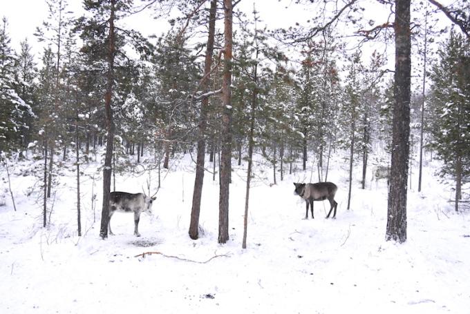 <p> Những cư dân địa phương trước đây sinh sống với nghề chính là săn thú, đánh bắt cá, và nuôi tuần lộc. Việc trồng trọt chủ yếu diễn ra vào mùa xuân khi băng tuyết tan đi, do đó mùa xuân là thời gian bận rộn nhất của họ. Ngoài ra, người Saami cũng vô cùng khéo léo và sáng tạo, bởi vậy du khách có thể tìm thấy ở đây những đồ thủ công tinh xảo từ lông và da tuần lộc, sản phẩm thêu trên vải vóc, hay các đồ chạm trổ từ sừng tuần lộc, đá, gỗ.</p>