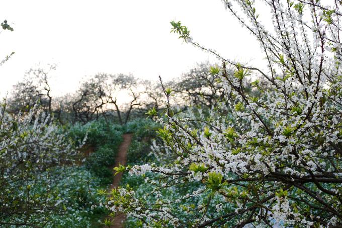 """<p class=""""Normal""""> Theo kinh nghiệm """"săn"""" hoa mận của nhiều người thì thời điểm hoa nở đẹp nhất là khoảng cuối tháng 1 đến giữa tháng 2. Tuy nhiên, tùy vào thời tiết mỗi năm mà thời gian hoa nở có thể sớm hoặc muộn.</p>"""