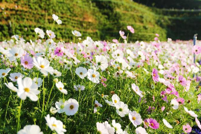<p> Thời điểm tham quan vườn hoa đẹp nhất là sáng sớm hoặc xế chiều. Khi tia nắng đầu ngày rọi lên những cánh hoa vẫn đang còn e ấp trong hơi sương thì cũng là lúc bạn sẽ chụp được nhiều bức hình ấn tượng.</p>