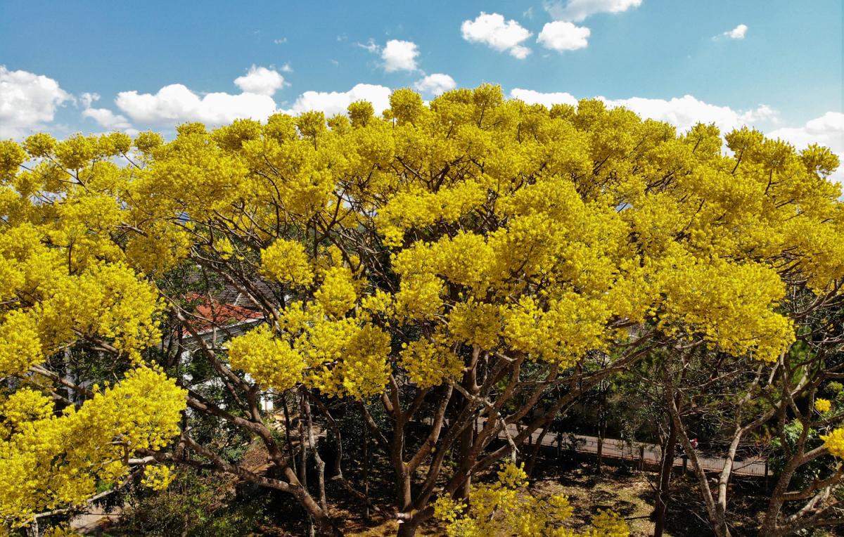 Phượng vàng khoe sắc khắp phố núi Bảo Lộc - VnExpress Du lịch