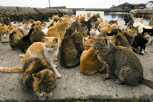 How do Japanese love cats?