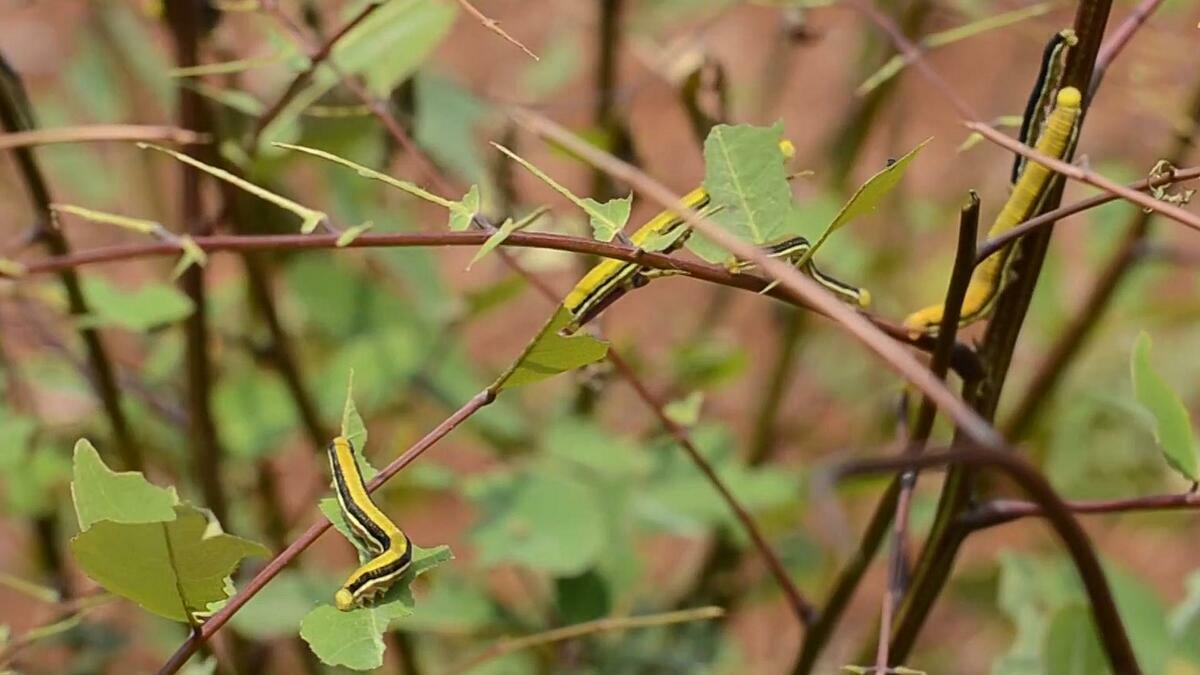 Khi trưởng thành, sâu di chuyển về thân cây muồng để kéo kén thành nhộng.Đó cũng là lúc những con sâu ngủ dài và chờ đợi để thành bướm. Ảnh: Công Lý.