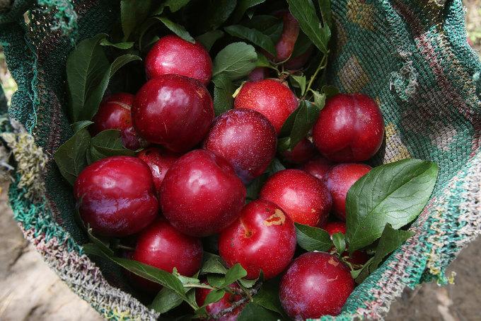 Mận đỏ Sa Pa Khoảng 2 tháng sau mùa hoa mận trắng bản Tả Van (Sa Pa, Lào Cai), những trái mận đỏ khổng lồ bắt đầu trĩu cây. Mận vùng này quả to mọng căng mịn, cùi dày hạt nhỏ, vỏ đỏ tươi khi còn trên cây, khi chín chuyển thẫm màu đen và có vị ngọt lịm. Vì độ ngon, mận được bán với giá thành không rẻ, khoảng 100.000 đồng một kg.Mận đỏ Tả Vanđược người dân địa phương ưa ủ làmrượu.Rượu mậnlà một trong những đặc sản nổi tiếng vùng này,có vị thơmchua vàhơichát dễ chịu. Ảnh: Ngọc Thành.