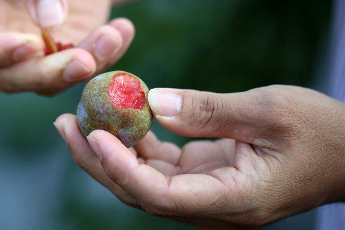 Mận tam hoa Bắc Hà Cùng thuộc tỉnh Lào Cai, cách Tả Van khoảng 100km, huyện Bắc Hà được biết đến là vương quốc mận tam hoa. Tên gọi mận tam hoa được gọi dựa vào hình thức của quả mận, gồm ba lớp là lớp phấn trắng phủ ngoài vỏ, lớp vỏ chuyển từ xanh ngả tím đỏ khi chín và lớp thịt bên trong đỏ tươi. Quả tròn căng, chất thịt giòn, ít chua là đặc trưng của giống mận này.Mậntam hoađược trồng chủ yếu ở các xã Na Hối, Tà Chải, Bản Phố và thị trấn Bắc Hà, với giá từ 10.000 đồng đến 50.000 đồng một kg tùy kích thước và độ chín. Ảnh: Ngọc Thành.