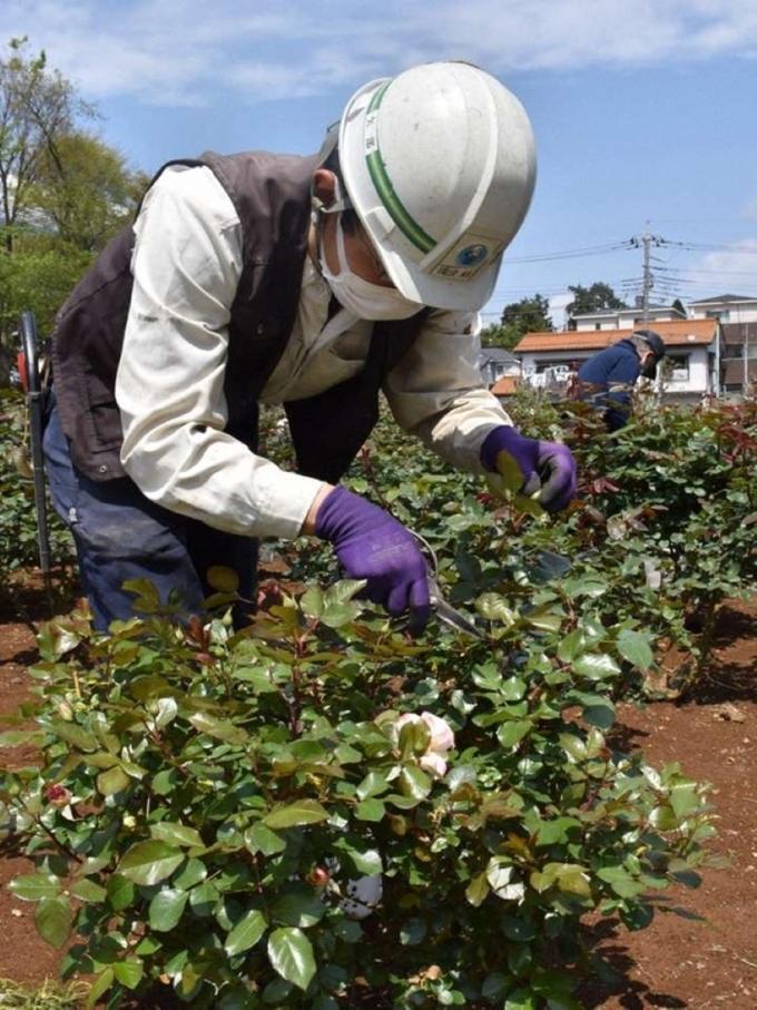 Các công nhân cắt bỏ nụ hoa hồng tại công viên Yono, Tokyo. Ảnh: Mainichi/Hayato Narisawa.
