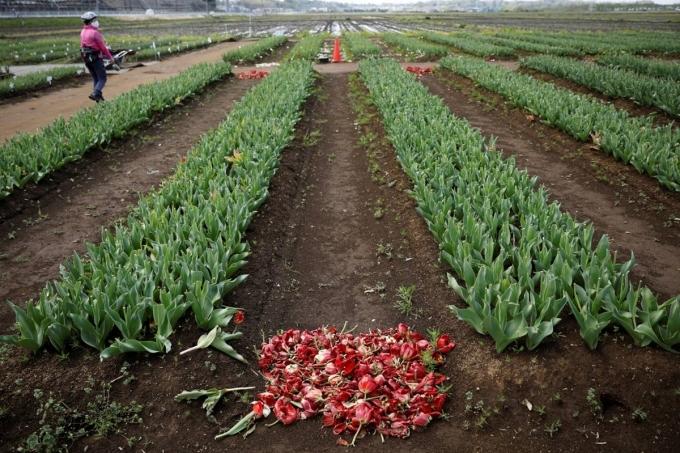 Cánh đồng hoa tulip bị cắt trụi. Ảnh: Reuters.