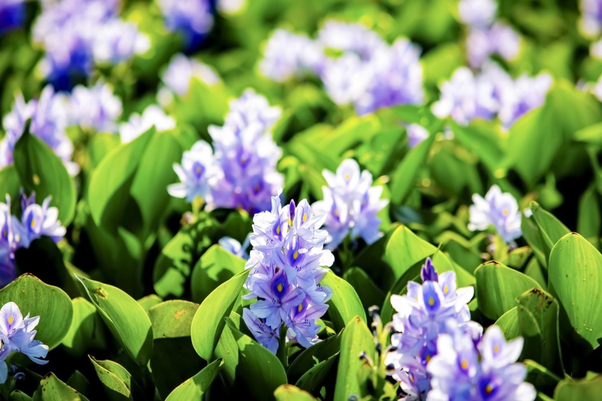 Mùa hoa lục bình - 9