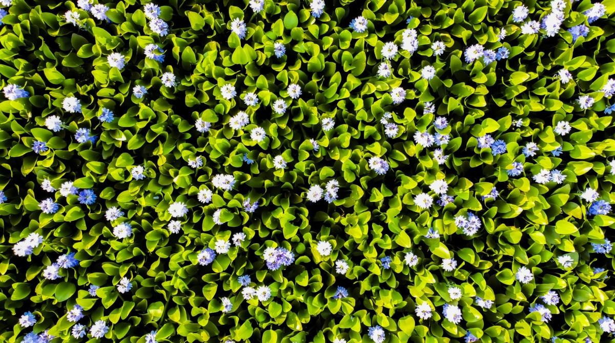 Mùa hoa lục bình - 3