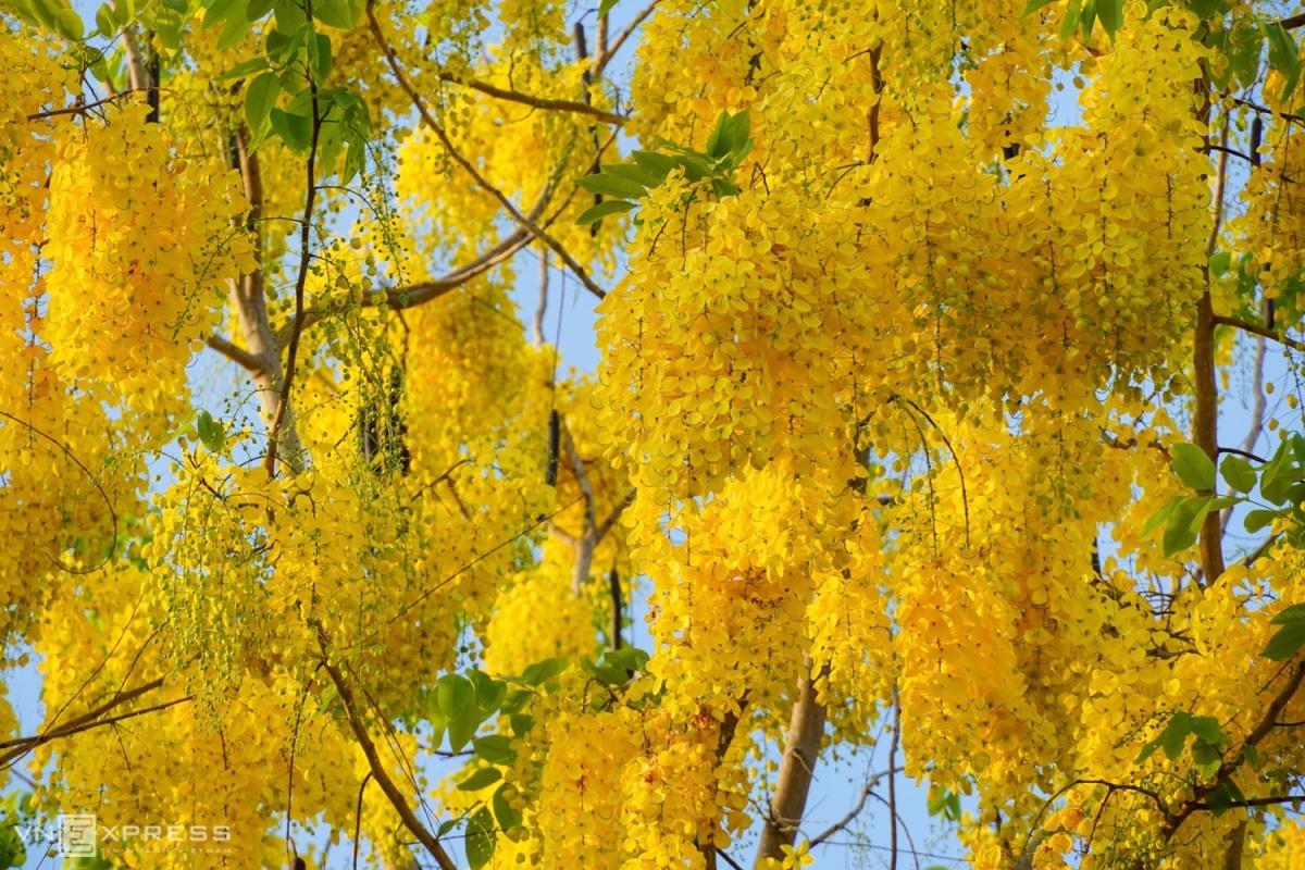 Phố cổ mùa hoa vàng