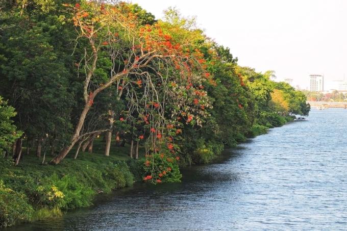 Hàng cây xanh đổ bóng, rũ xuống mặt sông Hương, tạo nét thư vị cho con đường đi bộ trong lành xứ Huế.