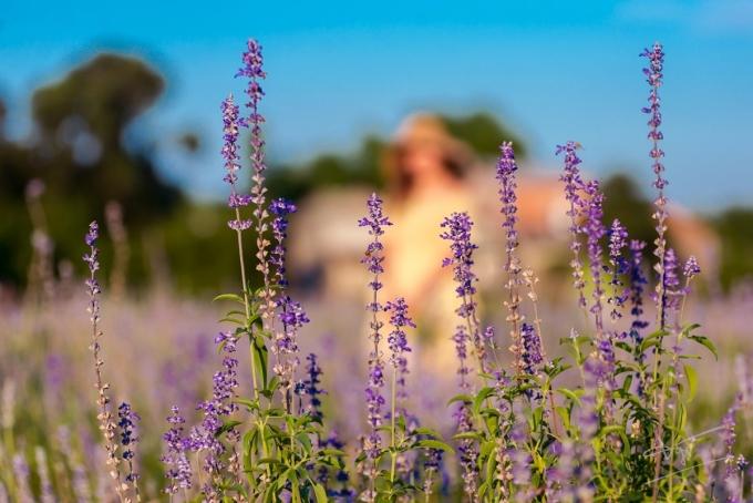 Bạn có thể chiêm ngưỡng cánh đồng hoa nữ hoàng xanh khoe sắc tại nông trại Green life ở Hương An, thị xã Hương Trà, cách thành phố Huế khoảng 5 km,