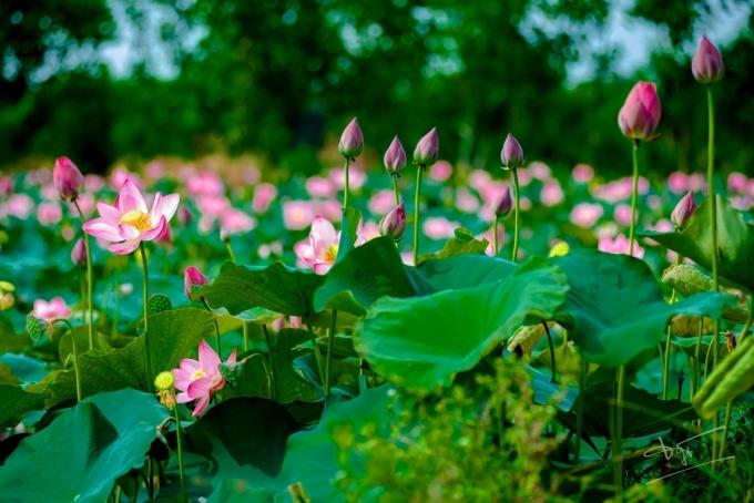 Để bắt được khung cảnh sen từ từ bung nở trên các cánh đồng cách trung tâm thành phố 10 km, tác giả Đăng Tuyên phải đi từ sáng sớm. Anh cho biết tháng 5 mùa sen đẹp nhất, du khách có thể chiêm ngưỡng vẻ đẹp của hoa trên các đầm lầy ở Hương Trà, phố cổ Bao Vinh,