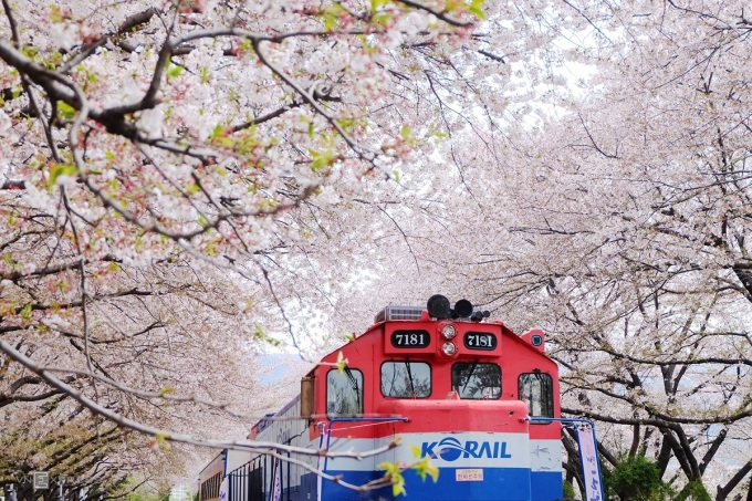 Khung cảnh hoa anh đào nở trong mùa xuân là một trong những đặc trưng thu hút du khách tới Hàn Quốc. Ảnh: Phong Vinh.