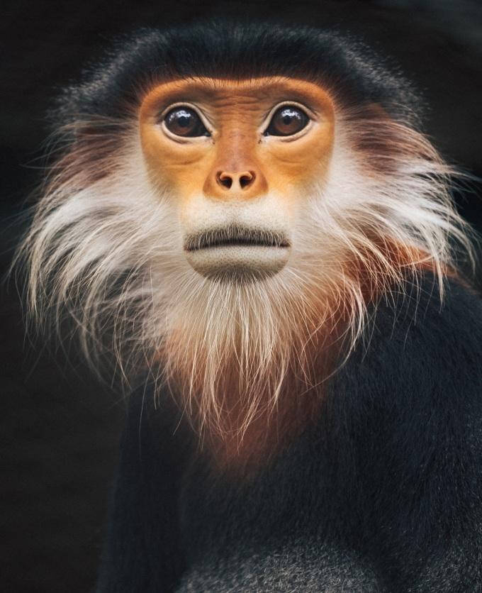 Các khu rừng Việt Nam che chở hai chục loài linh trưởng - vượn, khỉ, vượn và voọc. Chúng thường có bộ lông sặc sỡ, tương phản. Trong ảnh là một con voọc chân nâu ở Cúc Phương với bộ lông đen và khuôn mặt sinh động như thổ dân sau khi khóa trang.