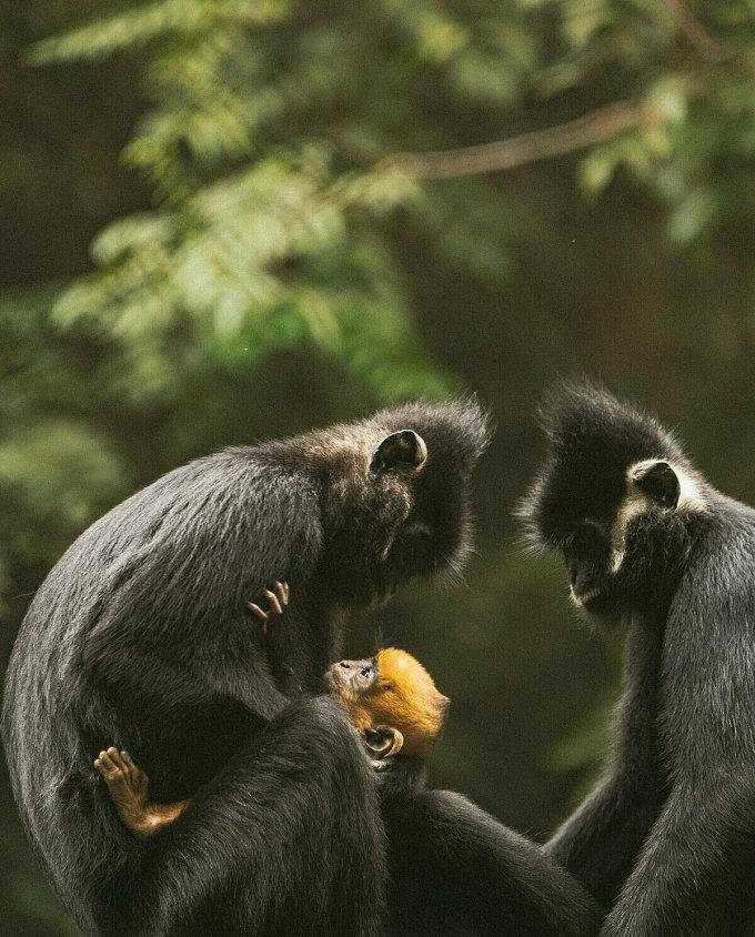 Một gia đình voọc vui đùa tại Trung tâm cứu hộ linh trưởng ở vườn quốc gia Cúc Phương. Loài voọc đang được các chuyên gia chăm sóc, bảo vệ vì chúng có nguy cơ tuyệt chủng.