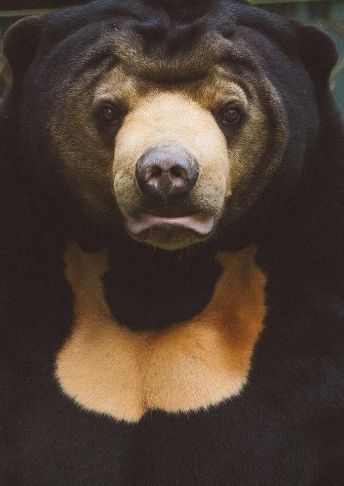 Khu bảo tồn gấu do Quỹ Động vật châu Á quản lý nằm trong thung lũng Tam Đảo. Ở đây có nhiều loài gấu được nuôi dưỡng và chăm sóc. Chúng gần giống a gấu đen Bắc Mỹ và có cổ trắng và đôi mắt sống động. Ở đây cũng có những con gấu mất chân, tay được giải cứu từ các trang trại nuôi lấy mật. Nếu không được cứu, chúng sẽ bị nuôi nhốt, lấy mật định kỳ cho đến chết. Trong ảnh là Murphy, một con gấu chó đực.