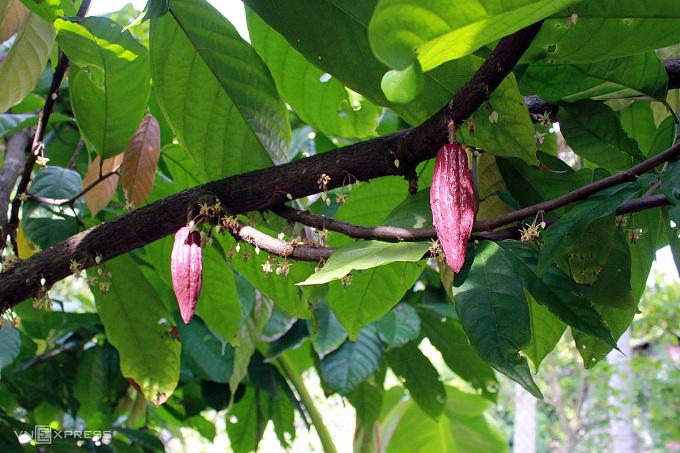 Đây là trái cacao, mọc từ thân cây, khi chín ngả sang nâu vàng, sẽ được thu hoạch và xử lý để cho ra thỏi chocolate mọi người hay ăn, chị Ngọc Điệp giới thiệu. Du khách được tận mắt quan sát cây, hoa và trái cacao có tuổi đời 5 - 15 năm tại vườn với độ chín khác nhau.