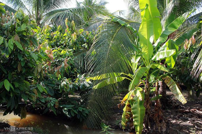 Cách TP HCM hơn 90km, vườn cacao này do ông Xuân Ron, cha của chị Ngọc Điệp, gây trồng từ đầu những năm 2000. Cây cacao được trồng xen canh dưới bóng cây dừa và cây chuối, cũng là hai loại trái được sử dụng trong quá trình chế biến thành phẩm chocolate và phục vụ món ăn tại đây.Cacao trồng trên thổ nhưỡng miền Tây cho ra chocolate có vị khác lạ so với những cây ở vùng khác trên thế giới, và hạt cacao Việt Nam thường được xuất khẩu cho những thương hiệu chocolate nổi tiếng thế giới. Nhận thấy tiềm năng, chị Ngọc Điệp cùng chồng đã bỏ phố về quê, tiếp quản vườn của cha và thành lập xưởng sản xuất chocolate tại chỗ.