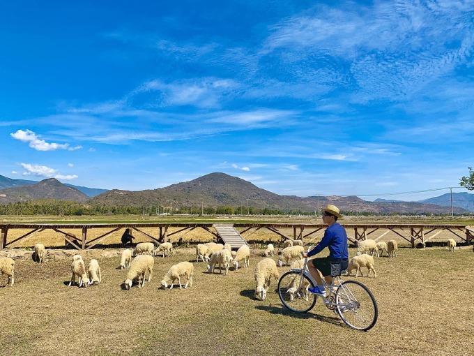 Đến Ninh Thuận, bạn có thể trải nghiệm đời sống du mục tại đồi cừu An Hòa hay Suối Tiên theo hướng đi Cam Ranh. Thời gian tham quan lý tưởng là từ tháng 5 đến tháng 9 vì thời tiết đẹp, cây cỏ xanh mướt làm thức ăn cho cừu. Lúc 7-8h sáng là thời điểm tuyệt vời để chụp ảnh với đàn cừu. Ảnh: Phan Lộc