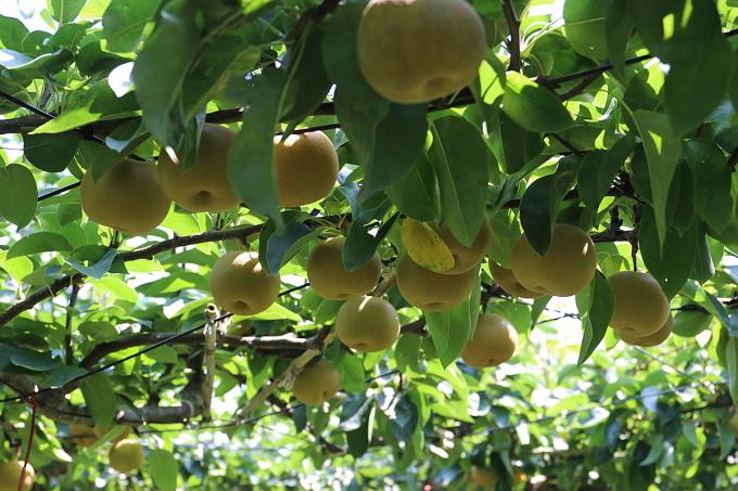 Những quả lê vùng Fukushima tươi ngon, mọng nước, có vị ngọt mát lành và dư vị chua nhẹ, được nhiều người yêu thích.