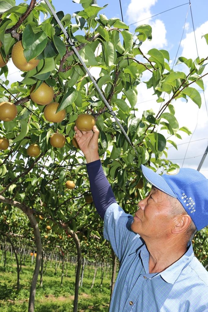 Nông dân vùng Fukushima đang chăm sóc cẩn thận, tỉ mỉ từng quả lê trên cành.