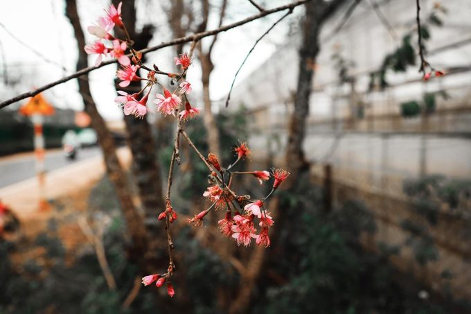 Some cherry apricot trees in Cay Mai crab (Xuan Tho commune) flower on November 6.  Photo: Pham Kim Nhan