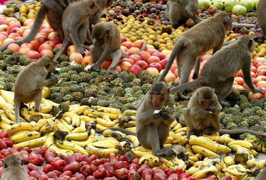 Đại tiệc buffet đãi hàng trăm con khỉ hoang