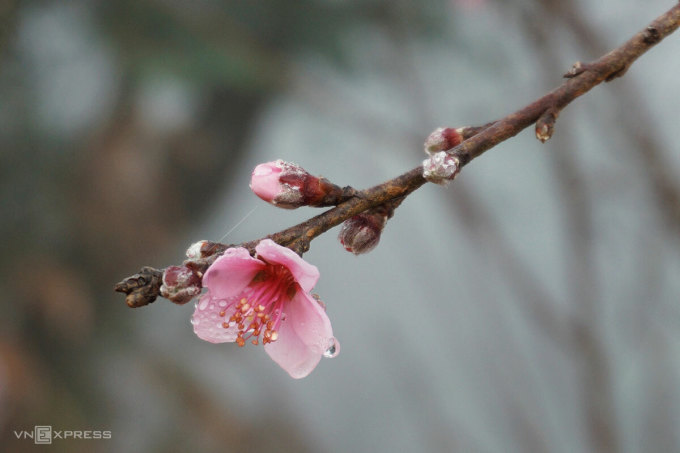 Ngắm hoa đào