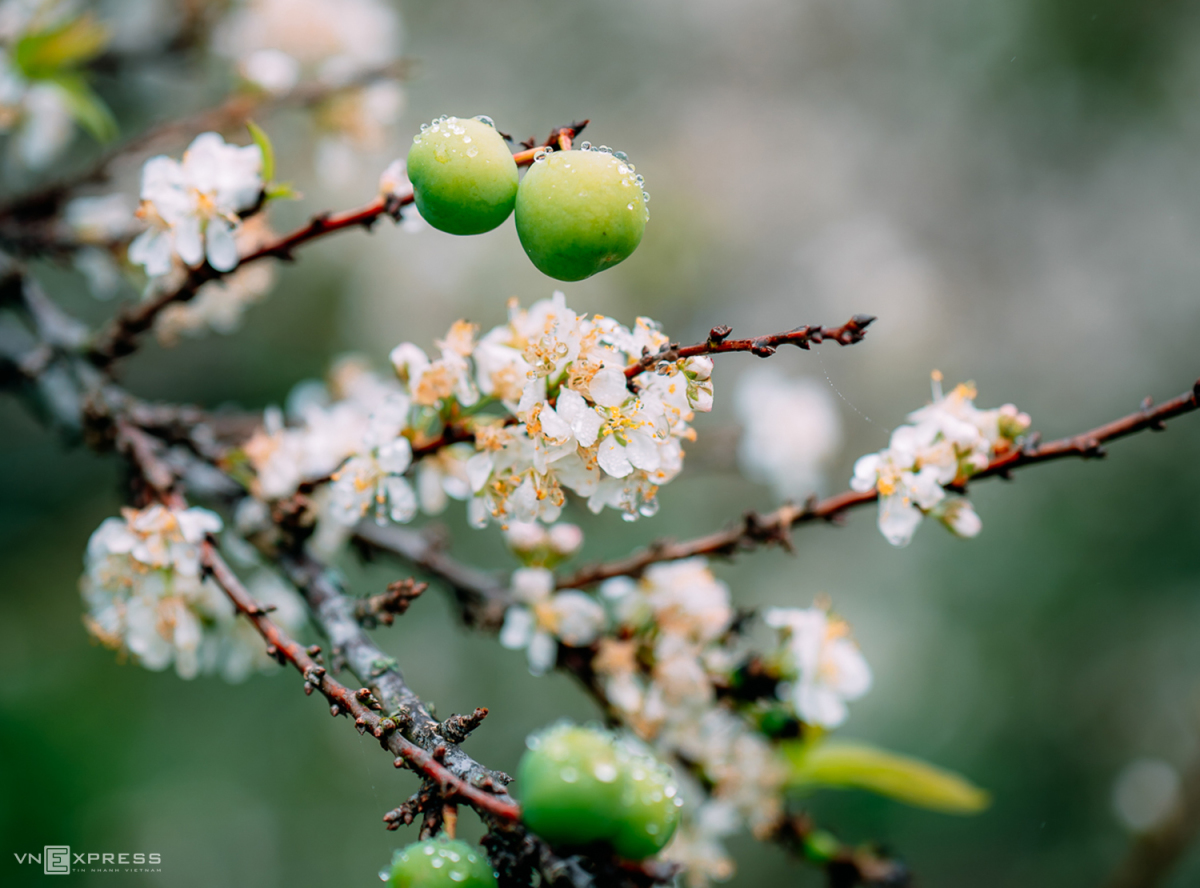 Sắc hoa xuân vùng cao - 2