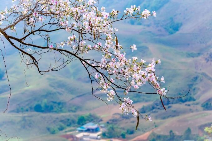Hoa ban Điện Biên được ví như nàng sơn nữ mộc mạc, tinh khôi