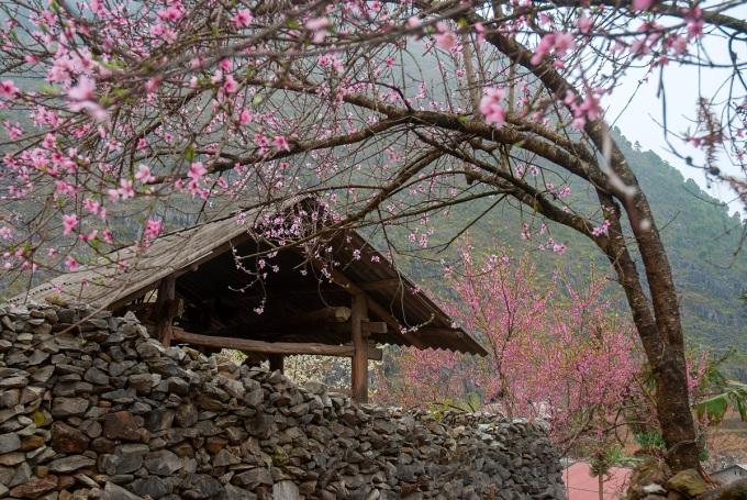 Hoa đào Hà Giang nở muộn, thường rộ nhất vào đầu tháng ba.