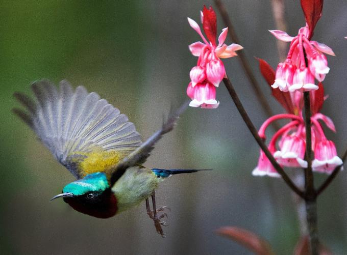Khoảnh khắc đẹp của đào chuông và loài chim hút mật hoa thu hút nhiều du khách đến Bà Nà dịp xuân về. (nguồn ảnh)