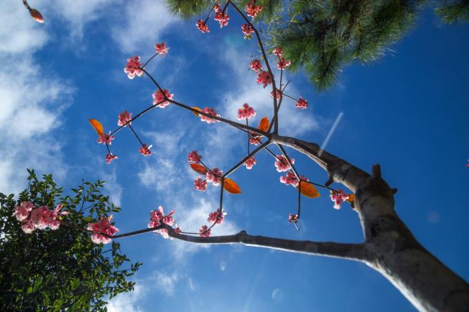 Những bông đào chuông lung linh trong các khu vườn Bà Nà. (nguồn ảnh)