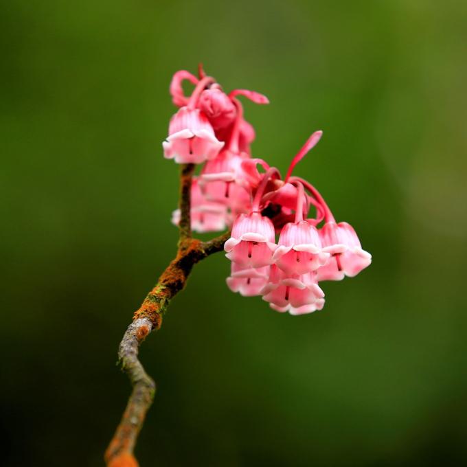 Từng chùm hoa bé nhỏ bung nở đung đưa trong gió tựa như những quả chuông nhỏ. (nguồn ảnh)