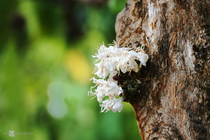 Tháng 3 là mùa du lịch Tây Nguyên, du khách có thể ngắm những đồi hoa cà phê nở ở Pleiku và Buôn Ma Thuột. Ảnh: Tâm Linh.