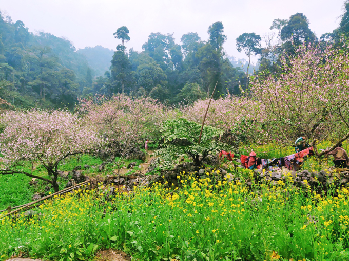 Những gốc đào cổ thụ nở hoa xen kẽ với các vạt cải vàng ở rừng già - khu vực giáp hai xã Lóng Luông và Chiềng Yên. Ảnh: Ngô Thành Đạo