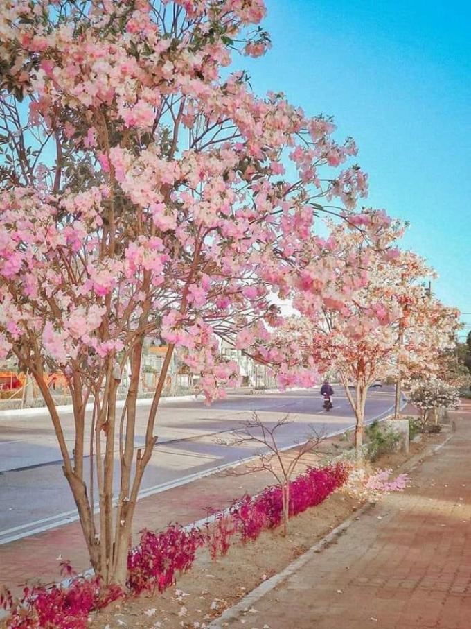 Ngoài những bãi biển tuyệt đẹp, Palawan còn có một điểm thu hút khác, chính là hoa anh đào, hay còn được gọi là balayong. Những cây hoa này cho màu trắng và hồng, nở đẹp nhất trong khoảng thời gian từ tháng 3 đến tháng 4 hàng năm.  Du khách cũng có thể ghé thăm Dasmarinas, một thành phố ở tình Cavite, gần Manila hơn Palawan để ngắm hoa chuông vàng (trumpet trees), một loài họ hàng xa của hoa anh đào Nhật Bản.  Gần Manila hơn, Dasmarinas, một thành phố ở tỉnh Cavite, cũng tự hào có hoa anh đào giả của riêng mình. Những bông hoa màu hồng phấn trang nhã là sản phẩm của những cây kèn - một họ hàng xa của cây sakura ở Nhật Bản.