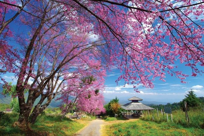 Thay vì nở rộ vào tháng 1 và 2 như ở Việt Nam, du khách có thể ngắm hoa đào nở ở xứ sở chùa vàng vào tháng 3 và 4. Một trong những điểm đến từng hút khách du lịch tại Thái Lan để ngắm hoa anh đào, trước Covid-19, là đại học Kasetsart ở Bangkok. Nơi đây trồng 200 cây hoa. Hai hàng cây bên đường lúc này cùng hồng rồng, tạo thành một con đường lãng mạn để du khách chụp ảnh.Ngoài ra, nếu du khách muốn tìm một điểm đến đầy hoa lãng mạn không kém, nhưng không phải hoa đào, bạn có thể ghé thăm Khu bảo tồn Thale Noi Waterfowl ở tỉnh Phatthalung. Nơi đây nổi bật với những đóa sen hồng nở rộ trên nước. Ảnh: FSThailand/Twitter