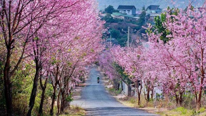 Đà Lạt , Lâm Đồng vào mùa xuân cũng trở nên đặc biệt và thu hút du khách bởi những cây mai anh đào đồng loạt khoe sắc. Ảnh: Bill Balo.