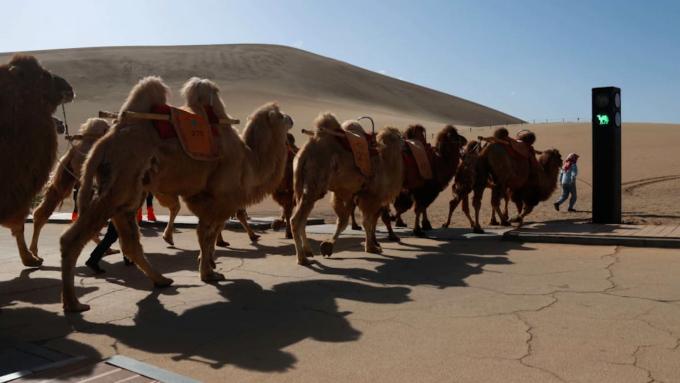 Để lắp đèn, đội thi công cắt một đoạn ván trên đường đi bộ dành cho khách du lịch, và tạo lối đi riêng cho lạc đà. Đèn tín hiệu điều phối luồng giao thông tại ngã tư mới. Ảnh: VCG