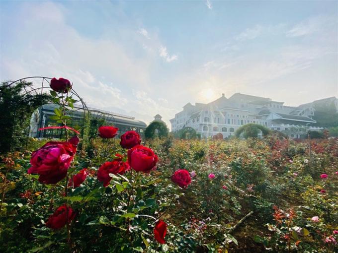 Hoa hồng bung nở trên đỉnh Fansipan.