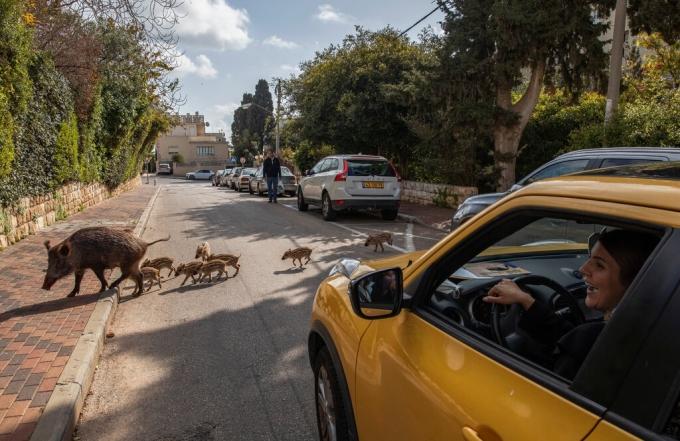 Phần lớn khách du lịch đều cảm thấy thích thú khi chứng kiến cảnh lợn rừng lang thang trên khắp đường sá của thành phố Haifa, phía bắc Israel. Còn người dân nơi đây từ lâu đã quá quen chia sẻ đường đi với loài vật này. Lợn rừng lục tung thùng rác, ngủ dưới ánh mặt trời bất chấp dòng người qua lại... cũng là điều bình thường. Loài động vật hoang dã này đã trở thành một phần văn hóa địa phương. Ảnh: Dan Balilty/New York Times