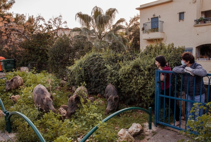 Không ai có câu trả lời chính xác rằng khi nào và tại sao những con lợn rừng quyết định chuyển từ các khe núi quanh Haifa vào trung tâm thành phố với hơn 300.000 dân. Nhưng chắc chắn chúng đã sống ở đó đủ lâu để không phải sợ sệt con người. Một số người tin rằng đàn lợn bắt đầu lang thang trong thành phố từ năm 2016, sau khi một trận hỏa hoạn lớn phá hủy môi trường sống tự nhiên của chúng. Ảnh: Dan Balilty/New York Times