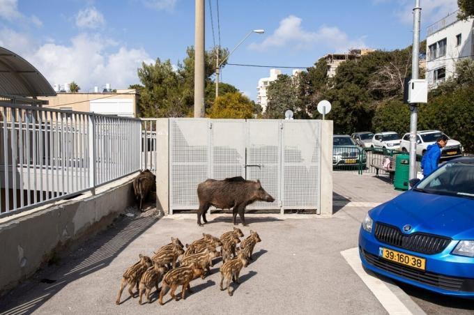 Những người khác cho rằng tình trạng này là hậu quả của lệnh cấm săn bắn lợn rừng của chính quyền vào năm 2019. Nhưng thống kê cho thấy số lượng lợn rừng vốn đã tăng cao vào thời điểm lệnh cấm có hiệu lực, và chúng vẫn có nguồn thức ăn dồi dào tại các khe núi ngoại ô Haifa. Các chuyên gia cho rằng nguyên nhân thực sự chính là loài vật hoang dã này bị thu hút bởi lượng thực phẩm thừa dồi dào từ các khu dân cư, và chúng ở lại vì không bao giờ đói khi sống trong thành phố. Ảnh: Dan Balilty/New York Times