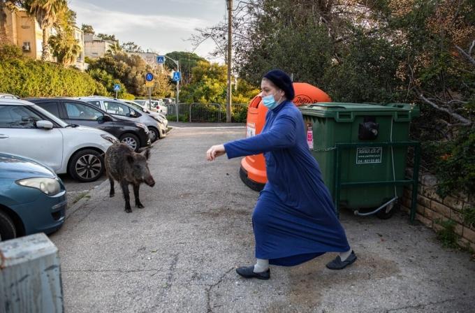 Người dân phải xích thùng rác lại để ngăn lợn rừng bới tung, rào lại khe núi và những con đường dẫn vào thành phố. Tuy nhiên, những biện pháp này không đủ sức ngăn cản các con vật. Bây giờ chúng đang kiểm soát đường phố. Quả là một tình trạng điên rồ, Assaf Schechter, một cư dân 43 tuổi, nói. Ông cho biết, đôi khi con gái mình cầu cứu vào tối muộn khi gặp lợn rừng ngoài đường.Còn mẹ vợ của ông, Esti Shulman, 75 tuổi, luôn phải mang theo gậy khi ra phố kể từ khi bị một đàn lợn đuổi trên vỉa hè. Bà Shulman cho rằng chính quyền nên gom hết lợn nhỏ vào một công viên hoặc tiêu diệt bớt. Ảnh: Dan Balilty/New York Times