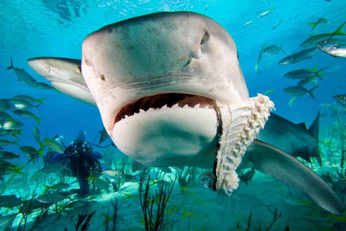 Một số loại cá mập khác thường tới gần bờ lúc hoàng hôn, bình minh để kiếm ăn. Nhưng riêng cá mập hổ thì cắn người bất kỳ thời điểm nào trong ngày. Ảnh: FossilGuy