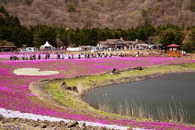 Khách được vào khu vực lễ hội để tham quan, chụp hình từ 8h đến 17h hàng ngày, giá vé 800 yên/người lớn (khoảng 170.000 đồng), 250 yên/trẻ em (hơn 50.000 đồng). Ngoài ra, du khách có thể tham gia cả lễ hội ẩm thực Mt. Fuji Delicious Festa gần vườn hoa, thưởng thức các món ăn, đồ uống tươi ngon khi ngắm cảnh. Ảnh: Hiroki Ochiai/Tokyo Date Navi
